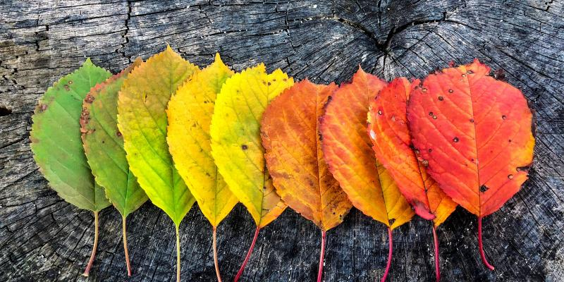 Autumn leaves ranging from green to yellow to orange to red on a gray wood background